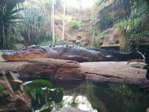 wild-life_crocodile