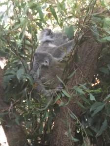 wild-life_koala