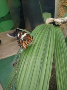 wild-life_papillon